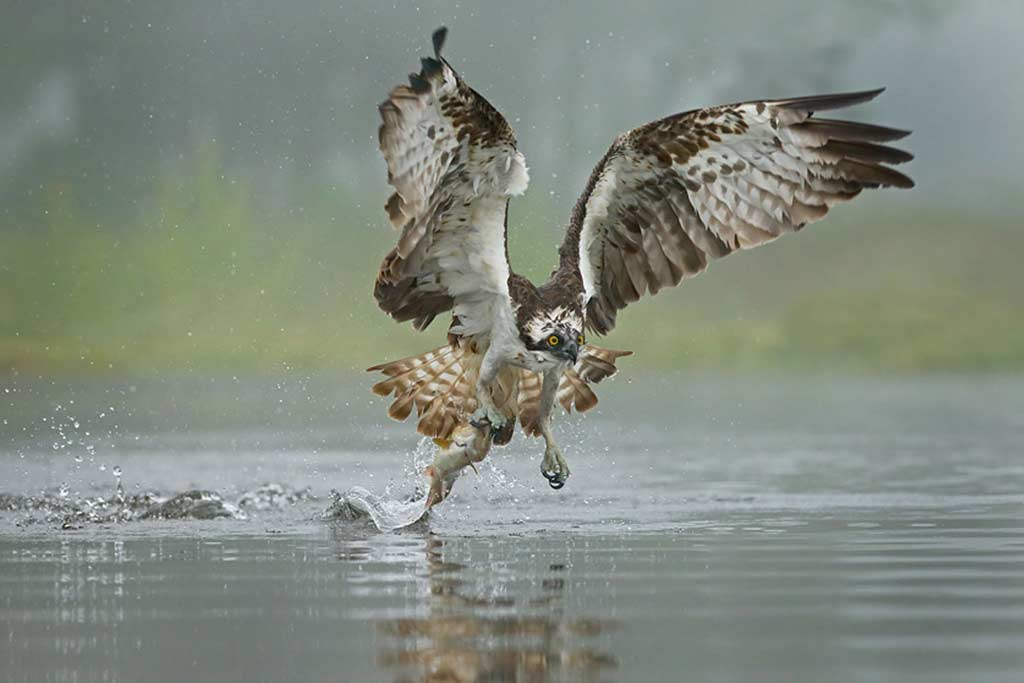 Osprey fishing, Scottish loch